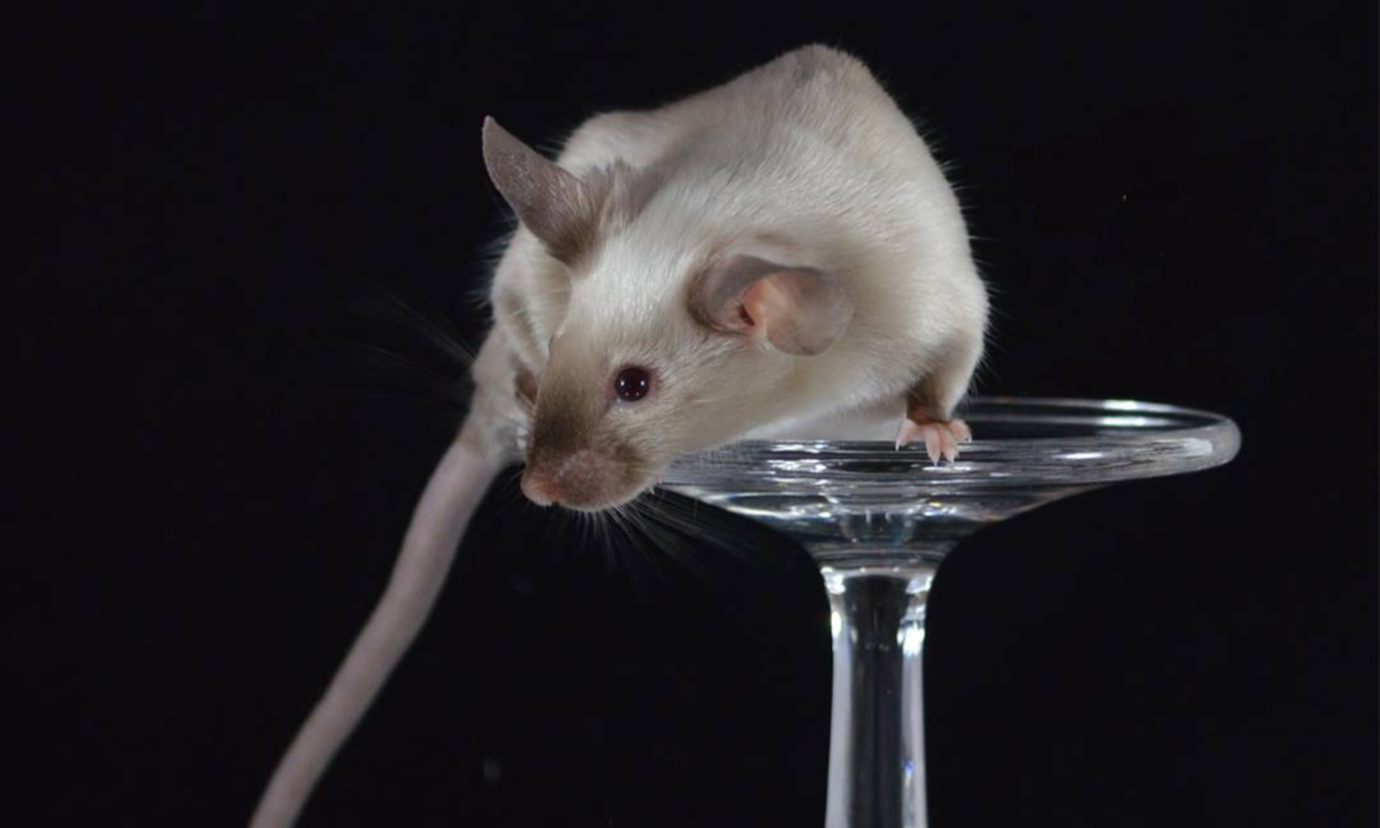 Trillium Fancy Mice